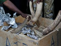 Kenya Wildlife Service officials and airport authorities inspect recovered elephants tusks intercepted at the Jomo Kenyatta airport in Kenya's capital Nairobi