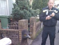Escaped emu in North Devon (Picture from devon and Cornwall Police)