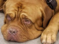 A generic file picture of a French Mastiff