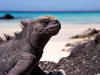 Marine Iguana,Santa Cruz island, Galapagos