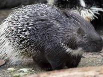 """A porcupine named """"Leon"""" sits in its enc"""