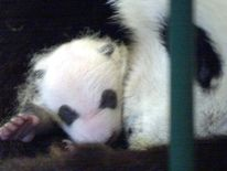 A one-month old panda cub at Chengdu breeding centre