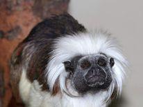 A stolen monkey, a Cotton-top Tamarin
