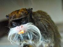 A stolen monkey - an Emperor Tamarin