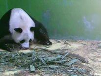 Mother panda Juxiao