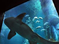 A nurse shark swims above a diver collecting shark teeth in the Sea Life London Aquarium