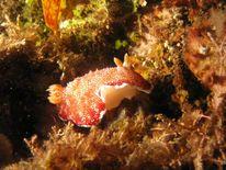 Sea Slug Chromodoris reticulata. Photo courtesy of Prilfish/Flickr