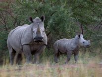 A White Rhino and her calf walk in the dusk light in Pilanesberg National Park in South Africa's  North West Province