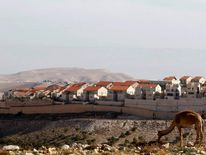 Camel grazes on a hill overlooking the Jewish settlement of Maale Adumim near Jerusalem