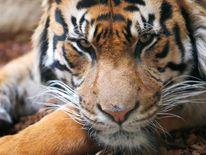 Jae Jae, a Sumatran Tiger at London Zoo