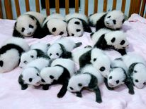 Giant panda cubs at Chengdu Research Base in China