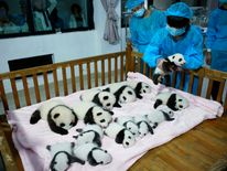 A breeder puts a giant panda cub into a crib at Chengdu Research Base in China