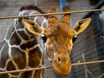 Marius the giraffe is pictured in Copenhagen Zoo