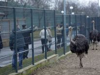 Ostriches kept within an enclosure on the grounds of the Mezhyhirya residence of Ukraine's President Yanukovych.