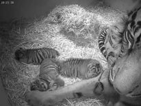 London Zoo celebrates birth of three tiger cubs