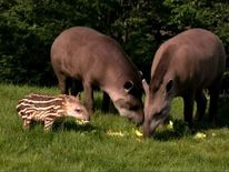 The family of tapirs at Dublin zoo that were at the centre of the attack on a toddler