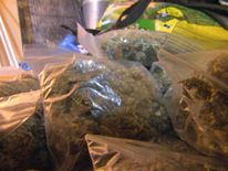 South London cannabis farm