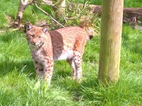 The lynx that escaped from Dartmoor zoo