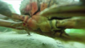 Curious crab inspects GoPro after it comes loose and sinks to seabed.