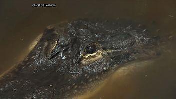 Gwendolyn the alligator
