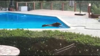 Bear swimming in domestic pool