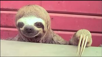The sloth wandered into the Peruvian town of Pucallpa