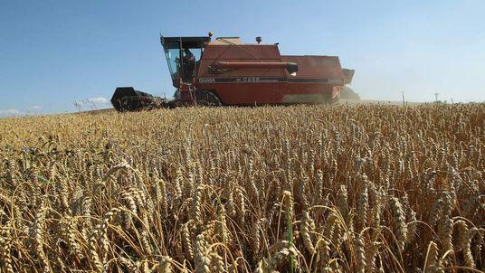 Wheat harvesting.