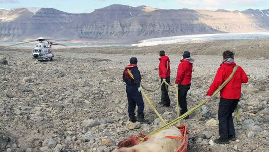 The dead polar was taken away by a sled attached to a helicopter