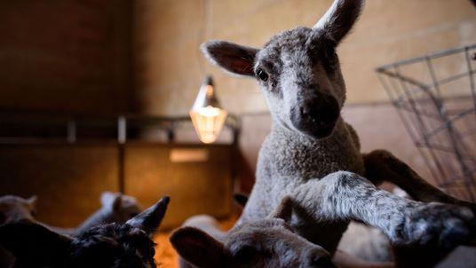 British lamb