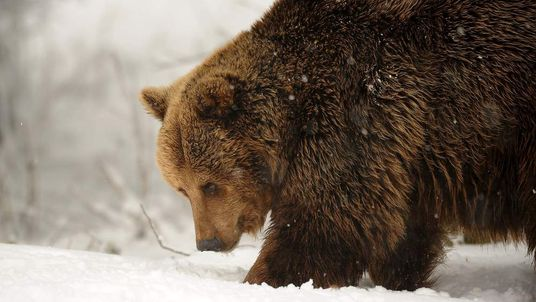 A European Brown bear makes its way through the snow