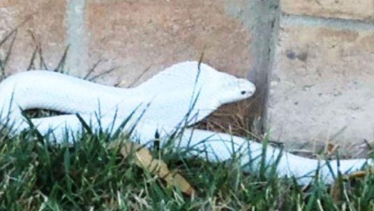 An albino cobra