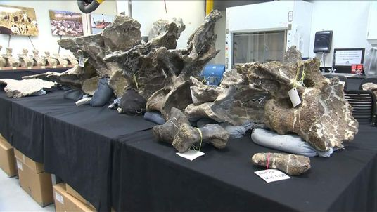 Bones of giant Dreadnoughtus dinosaur found in Argentina