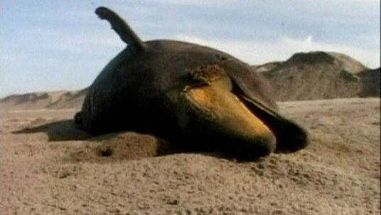 Dead dolphin washed up on Peru coastline