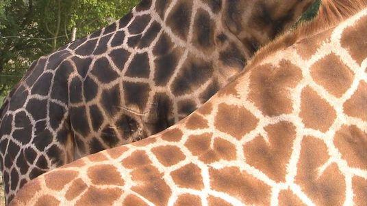 Giraffes at Chessington World of Adventures