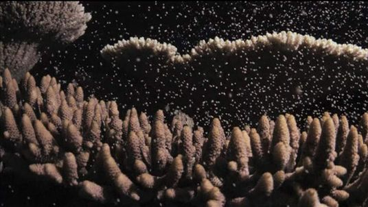 Barrier reef spawning
