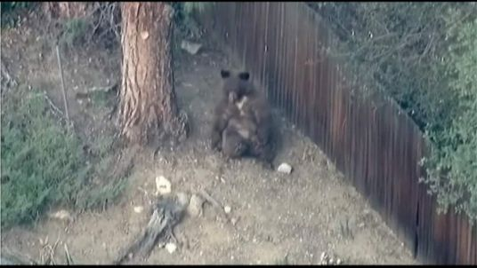 A bear has been roaming through the Los Angeles suburb of Pasadena.