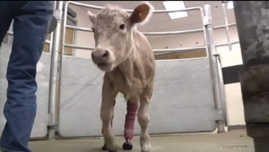 Hero the cow gets new legs after losing his to frostbite