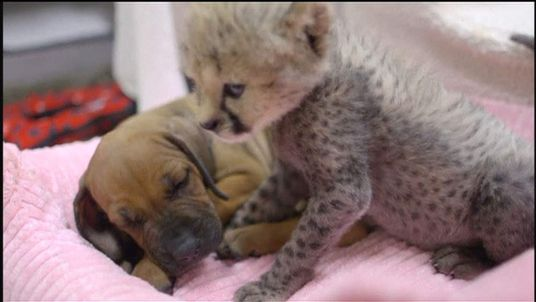 Rejected cheetah finds new friend in puppy