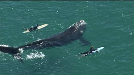Surfers come dangerously close to a whale off Sydney