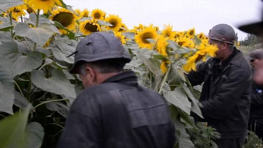 Miners help search sunflower fields for the bodies of MH17 passengers