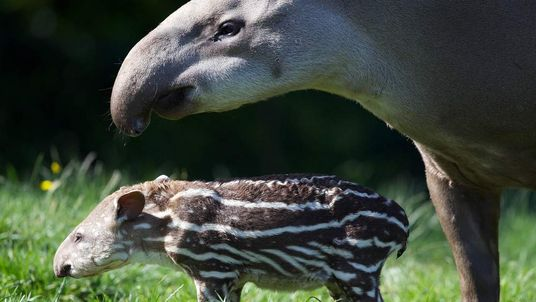 Dublin tapir Rio and baby Jenny. Picture: Dublin Zoo