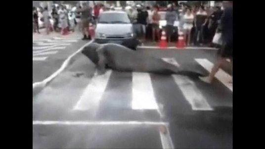 Elephant Seal Wanders Street In Balneario Camboriu