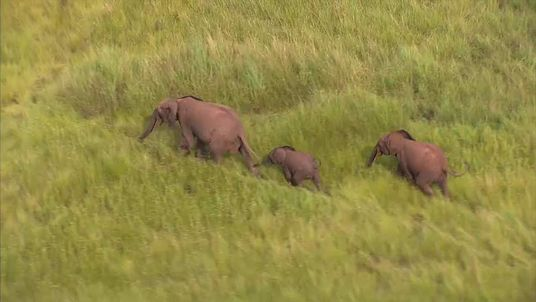 Elephants in Gabon