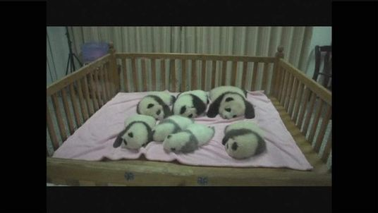 Panda Cubs born in China