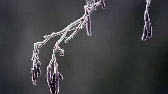 Frost clings to plants.