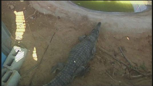 Escaped crocodile recaptured in Gaza