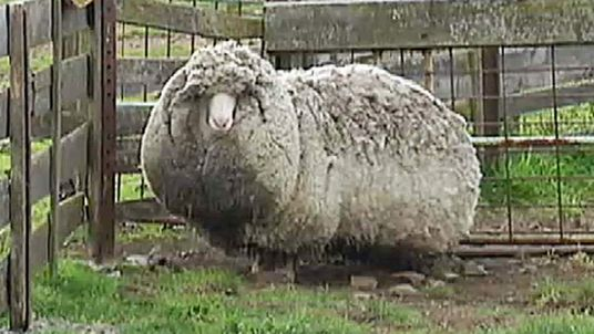 Shaun the sheep was discovered by farmers in Australia - and hasn't faced the shearers in six years.