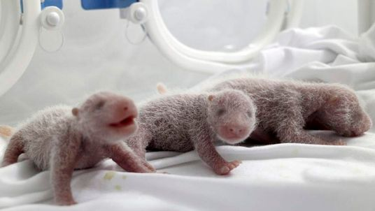 Newborn giant panda triplets are seen inside an incubator