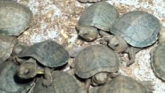 The baby turtles are endangered