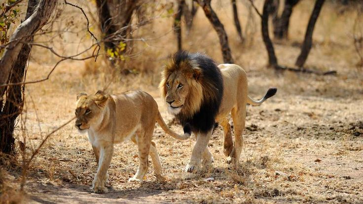 Lions in Africa